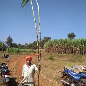 happy-farmer-with-13-feet-sugar-cane